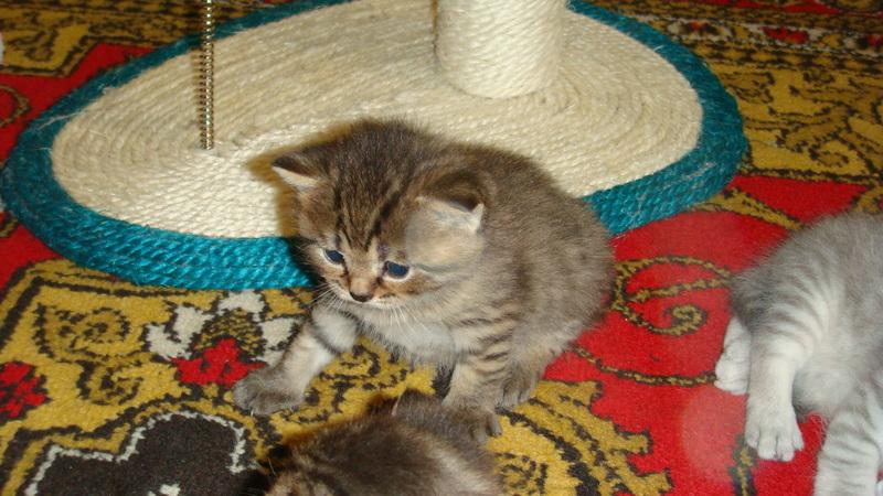 Британские котята разное фото