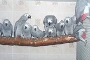 Жако краснохвостые – отдельные птицы и разводные пары