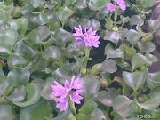Водный гиацинт 10-30 грн.