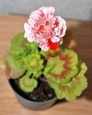 Пеларгония Elmsett ,  комнатное золотолистое растение