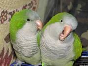 Продаётся Попугай-монах – дружелюбная,  общительная,  энергичная птица
