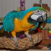 Ара Сине-жёлтый продаются ручные птенцы