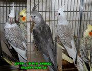 В нашем питомнике можно купить ручного попугая из недорогих видов для