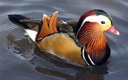 Продам декоративных домашних и водоплавающих декоративных птиц: