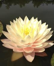 Лилии водяные и другие прибрежные ростения.