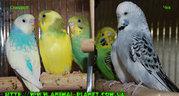 Волнистики,  чехи,  неразлучники,  кореллы - редкие окраски ручные птенцы
