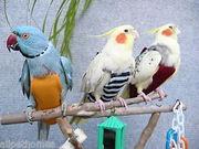 Памперсы для попугаев - прогулочные косюмы для птиц