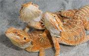 Агама,  хамелеон,  геккон - ручные ящерицы для домашнего содержания