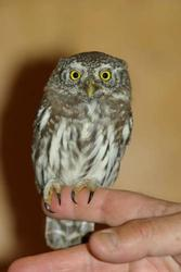 Ручная домашняя сова - совята пуховики,  ушастая сова,  сыч - продам