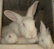 Кролики мясной породы, Белый панон