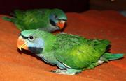 Александрийский попугай - большой кольчатый  и Китайский кольчатый