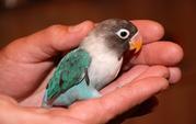 Ручной попугай Неразлучники - птенцы выкормыши полностью ручные