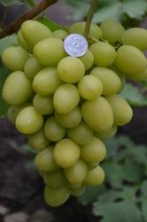 Купить саженцы винограда