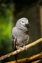 Продам попугая. Жако краснохвостый
