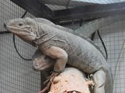 Продам игуану носорог (Cyclura cornuta)