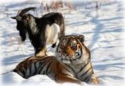 Помощь тигру Амуру и козлу Тимуру