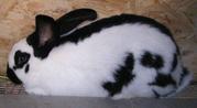 Продаю кроликов породы немецкий пестрый великан (строкач)