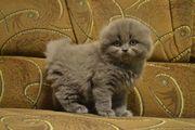 Продам Котят.(Вислоухих)