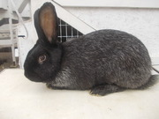 Кролики серебристые,  самцы и самки