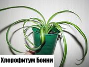 Хлорофитум Бонни (chlorophytum comosum 'Bonnie') дешево