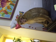 Ручная домашняя обезьяна,  европейская обезьяна магот