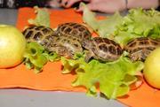 Сухопутная среднеазиатская черепаха,  опт и розница
