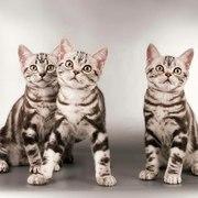 Котята  Американская короткошерстная. Профразведение