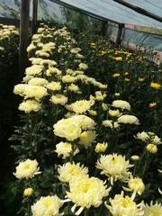 Продажа хризантемы