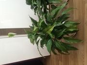 Спатифиллум ) шикарное комнатное растение
