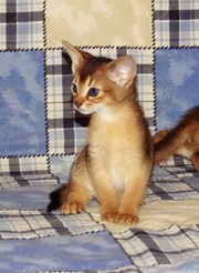 Абиссинский котенок - неповторимость и шик вашего дома