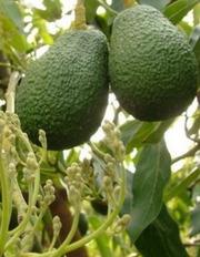 Авокадо привитый