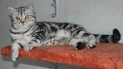 Киевский питомник предлагает британских котят окраса черный мрамор на серебре