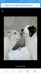 Продам щенков САО(алабай)