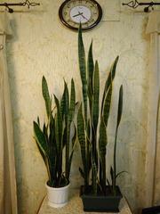 Саньсевьера золотая домашняя высота 2 вазона (0, 8 м и 1 м высотой)