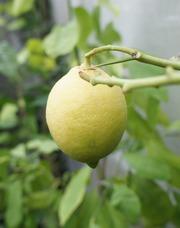 Лимоны для выращивания в квартире