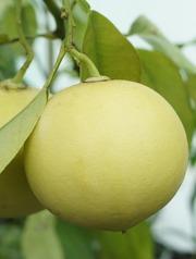 Бергамот (цитрусовое дерево) для дома