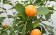 Каламондин цитрусовое дерево