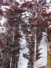 Бук лесной привитой Fagus silvatica для озеленения