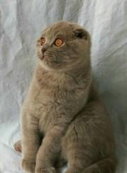 Продаю котёнка в разведение