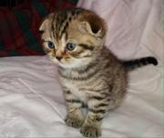 Продажа шотландских котят. Фолды и страйты.