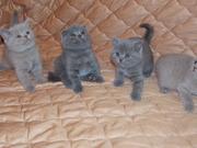 Обаятельные Шотландские котята