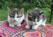 Котята от кошки Синеглазки