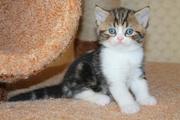Шотландские породистые котята
