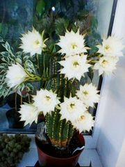 Кактус Эхинопсис. Цветы необыкновенной красоты с нежным ароматом.