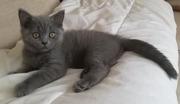 британская кошка ,  котёнок