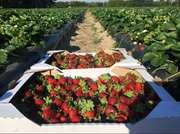 Работа на ягодной ферме,  сбор клубники,  с.Грузское