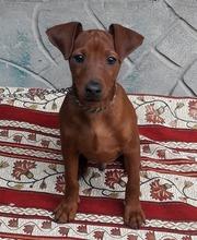 Цвергпинчер (карликовый пинчер) щенки 4 месяца,  рыжие.  Киев.