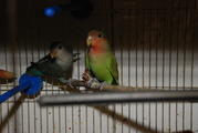 Неразлучники,  волнистики,  кореллы и другие мелкие породы попугаев