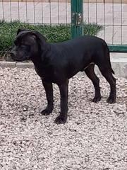 Подрощенный щенок стаффордширского бультерьера