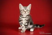 Американские короткошерстные котята. Различные окрасы